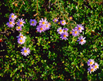 Stiff Asters (Aster linariifolius) and Bearberry Leaves (Arctostaphylos uva-ursi), Great Island, Cape Cod National Seashore, Cape Cod, Wellfleet, MA