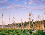 Early Morning Light on Marsh with Tussock Sedge and Old Snags, Whetstone Wildlife Sanctuary, Wendell, MA