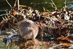 Muskrat on Feeding Platform in Small Pond near Manchaug Pond, Sutton, MA