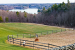 Miniature Horses Grazing in Pasture with Manchaug Pond in Background, View from Sutton, MA