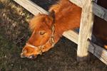 Close-up of Miniature Horse GrazingmThrough Fence, Sutton, MA