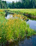 Rushes in Bloom on North Alder Brook near Lye Brook Wilderness, Green Mountain National Forest, Sunderland, VT