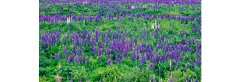 Field of Lupines, Littleton, NH