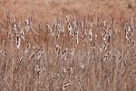 Narrow-leaved Cattails in Salt Marsh at Chincoteague National Wildlife Refuge, Assateague Island National Seashore, Assateague Island, VA