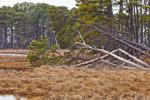 Pine Trees and Salt Marshes at Chincoteague National Wildlife Refuge, Assateague Island National Seashore, Assateague Island, VA