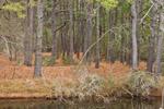 Pine Forest in Chincoteague National Wildlife Refuge, Assateague Island National Seashore, Assateague Island, VA