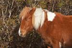 "Wild ""Pony"" of Assateague Island, Assateague Island National Seashore, MD"