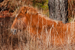 "Wild ""Pony"" Resting in Grasses, Assateague Island National Seashore, Assateague Island, MD"