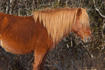 "Wild ""Pony"" with Golden Mane, Assateague Island National Seashore, Assateague Island, MD"