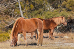 "Wild ""Ponies"" of Assateague Island Grazing, Assateague Island National Seashore, MD"