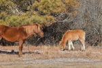 "Young and Adult Wild ""Ponies"" of Assateague Island, Assateague Island National Seashore, MD"