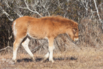 "Young Wild ""Pony"" of Assateague Island, Assateague Island National Seashore, MD"
