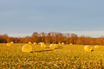 Early Morning Light on Round Corn Bales in Field near Cecilton, Cecil County, MD