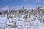 Bog after Snowfall, North Maine Woods near Baxter State Park, ME