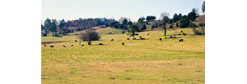 Grazing Cattle on Arkansas Farmland, Rosebud, AR