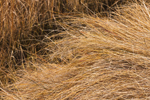 Close Up of Marsh Grasses at Sinepuxent Bay, Assateague Island National Seashore, Assateague Island, MD