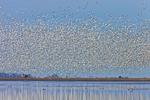 Snow Geese in Flight, Prime Hook National Wildlife Refuge, Broadkill Neck, Milton, DE