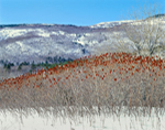 Staghorn Sumac in Winter with Cadillac Mountain in Background, Acadia National Park, Mt Desert Island, ME