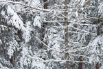 White Pine Tree Trunk and Eastern Hemlock Trees in Snow-covered Woodlands, near Bearsden Conservation Area, Athol, MA