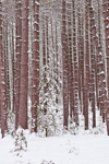Red Pine Forest after Snowstorm, Birch Hill Recreation and Wildlife Management Area, Winchendon, MA