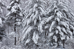 White Pine and Eastern Hemlock Forest after Snowstorm, New Salem, MA