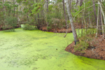 Pond Covered with Duckweeds in Maritime Forest at Nags Head Woods Preserve, Outer Banks, Nags Head, NC