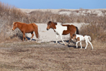 "Wild Horses (""Ponies"") at Edge of Dunes, Mares and Filly, Assateague Island National Seashore, Assateague Island, MD"