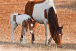 """Wild Horses (""""Ponies""""), Pinto Mare and Filly Grazing, Assateague Island National Seashore, Assateague Island, MD"""