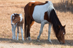 "Wild Horses (""Ponies""), Pinto Mare and Filly, Assateague Island National Seashore, Assateague Island, MD"