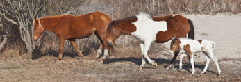 """Wild Horses (""""Ponies"""") at Edge of Dunes, Mares and Filly, Assateague Island National Seashore, Assateague Island, MD"""