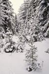 Spruce Forest after Heavy Snowfall, Acadia National Park, Mt Desert Island, Bar Harbor, ME