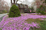 Carpet of Moss Phlox (Creeping Phlox) in Lawn of Residence on River Road Scenic Drive, Old Mystic, Groton, CT
