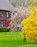 Flowering Cherry Tree and Forsythia in Full Bloom in Front of Colonial Home, Old Mystic, Groton, CT