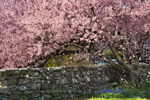 Flowering Cherry Tree in Full Bloom with Stone Wall in Spring, Little Compton, RI