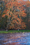 Early Morning Light on Flowering Red Maple Tree along the Millers River in Spring, near Bearsden Conservation Area, Athol, MA