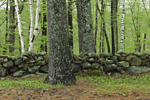 Stone Wall, White Pine and White Birch Tree Trunks Amid Green of Spring, Jaffrey, NH
