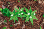 Close Up of Starflowers in Bloom on Forest Floor in Spring, Swanzey, NH