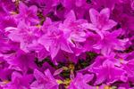 Close Up of Azaleas in Full Bloom in Spring, Peterborough, NH