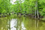 Bald Cypress Trees and Reflections along Robe Bayou, Cache River National Wildlife Refuge, Woodruff County, near Cotton Plant, AR