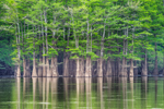Bald Cypress Trees in the Basin, Backwaters of White River, Prairie County, Des Arcs, AR