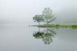 Two Trees in Early Morning Fog Reflecting in Small Pond, Lonoke County, Cabot, AR