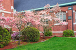 Flowering Dogwood Trees at Our Lady Immaculate Catholic Church, Athol, MA