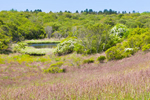 Small Pond, Rose Bushes and Red-topped Grass in Rodman's Hollow, View from Black Rock Road Trail, Town of New Shoreham, Block Island, RI