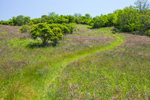 View of Long Loop Trail through Red-topped Grass in Rodman's Hollow, Town of New Shoreham, Block Island, RI
