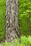Close Up of Shagbark Hickory Tree Trunk, Pachaug State Forest, Griswold, CT