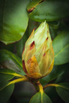 Close Up of Catawba Rhododendron Bud, Royalston, MA