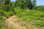 Grassy Path through Kudzu, Troup County, near Antioch, GA