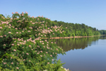 Mimosa Tree in Bloom along Shore of West Point Lake, Chattahoochee River, Troup County, Antioch, GA