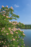 Close Up of Mimosa Tree in Bloom with West Point Lake in Background, Chattahoochee River, Troup County, Antioch, GA