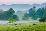Cattle in Pasture in Early Morning Fog, Wolfpen Ridge in Background, Chattahoochee National Forest, Towns County, near Macedonia, GA